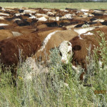 Bunched cattle