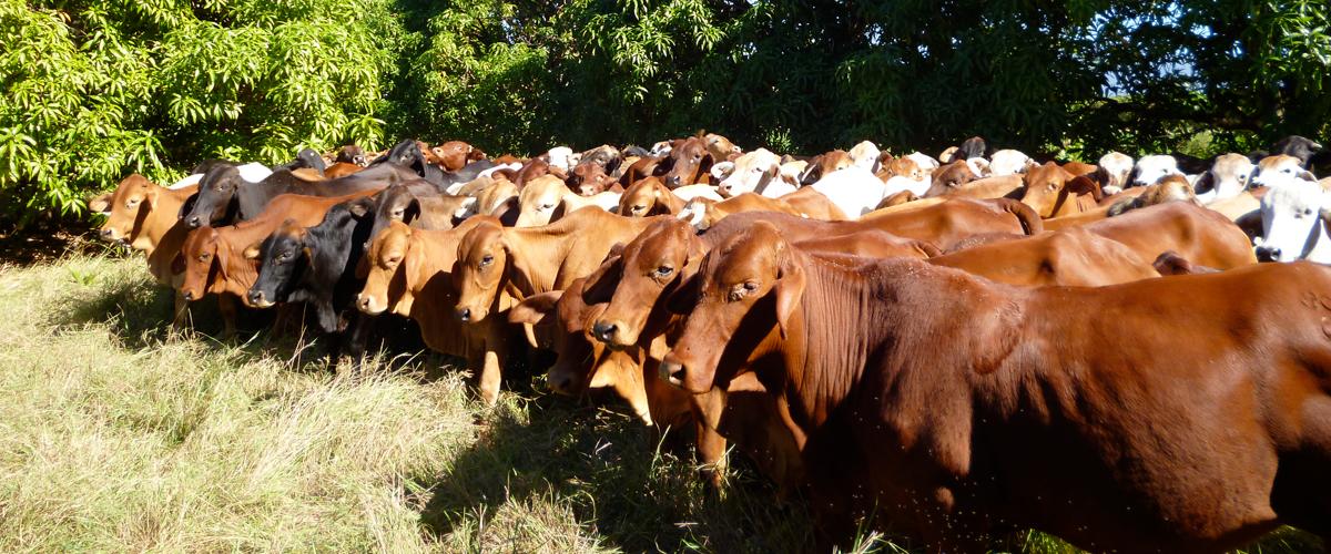 Le-Feurves-Cows